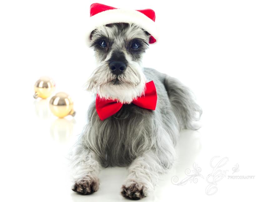 Merry Christmas! Merlyn Photo~shoot Christmas 2012, Dog Pet Photography
