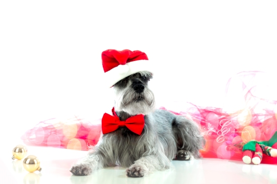 Merry Christmas! Merlyn Photo~shoot Christmas 2012, Pet Photography